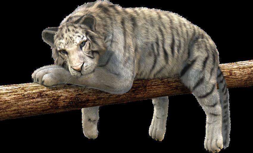 tiger-528890_960_720